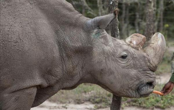 The dark side of resurrecting species from extinction /img/last-male-northern-white-rhino.jpg
